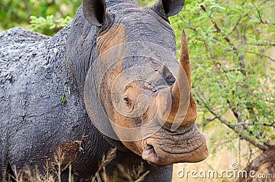 White Rhinoceros, Kruger National Park, South Afri