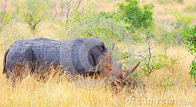 White Rhinoceros, Kruger National Park, South Afri