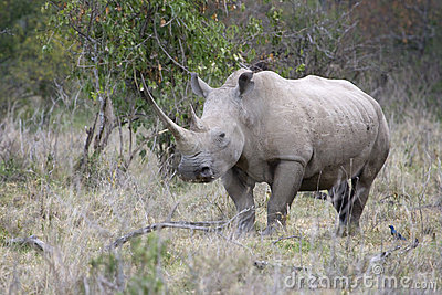 White Rhinoceros at lake Nakuru.