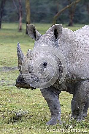 White Rhinoceros at lake Nakuru.