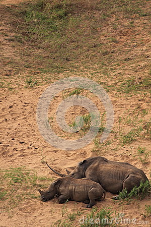 White rhinoceros mother and child sleeping