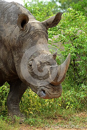 White rhinoceros after mud bath.