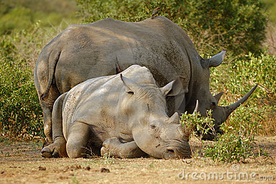 White Rhinoceros with Oxpecker