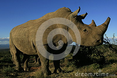 White rhinoceros portrait