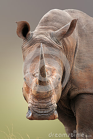 Free White Rhinoceros Portrait Royalty Free Stock Photography - 62068327