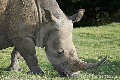 White Rhinoceros Potrait