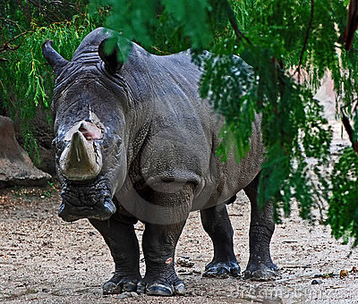 White rhinoceros in rain