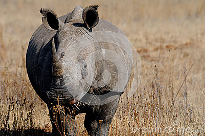 White rhinoceros or square-lipped rhinoceros