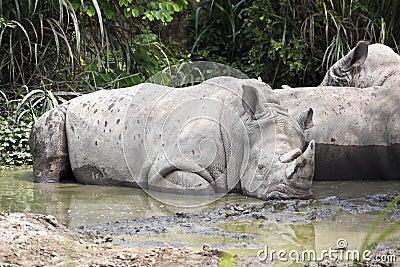 White Rhinoceros,Square-Lipped Rhinoceros , Ceratotherium simum