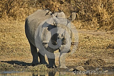 The white rhinoceros or square-lipped rhinoceros (Ceratotherium simum)