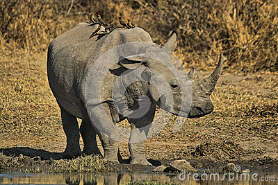 The white rhinoceros or square-lipped rhinoceros (Ceratotherium simum)