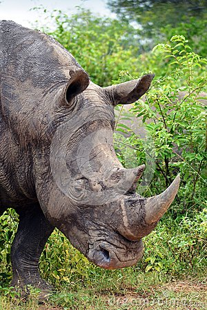 White rhinoceros or square-lipped rhinoceros (Ceratotherium simum).