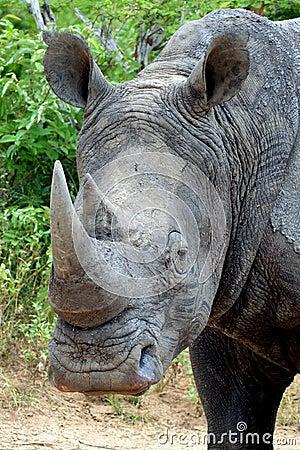 White rhinoceros or square-lipped rhinoceros (Ceratotherium simum).