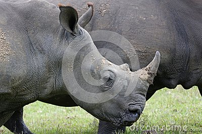 White Rhinocerous