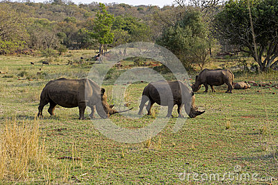 White rhinos in South Africa