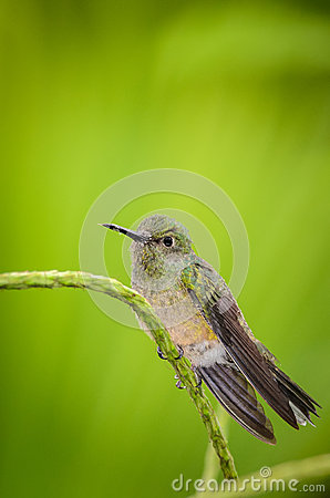 White-ringed Flycatcher,Conopias albovittatus, flycatcher, bird, fauna, one animal, animal, wildlife, animals in the wild, Animals