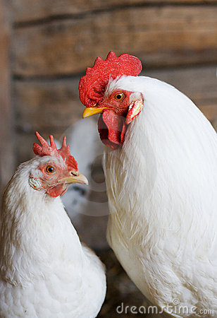 Free White Rooster And Hen Royalty Free Stock Photos - 2953658