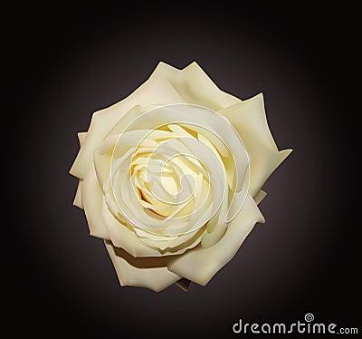 Free White Rose Stock Photography - 11554212
