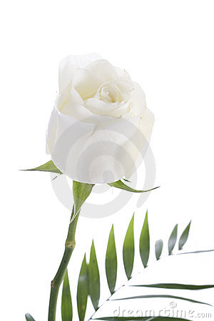 Free White Rose Stock Photography - 21907332