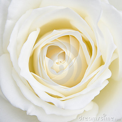 Free White Rose Stock Photography - 4189112