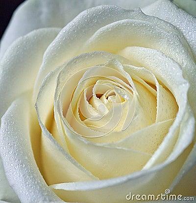 Free White Rose Stock Images - 5772784