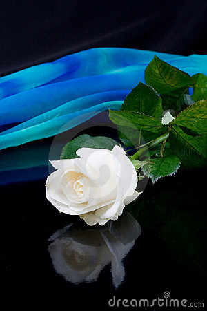 White rose and blue silk
