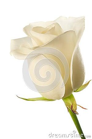 Free White Rose Bud Royalty Free Stock Image - 2950296