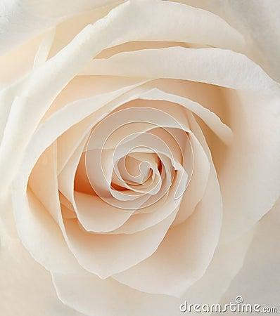 Free White Rose Closeup Royalty Free Stock Photo - 1431685