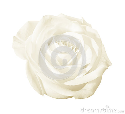 Free White Rose Flower Isolated Stock Photography - 24744682
