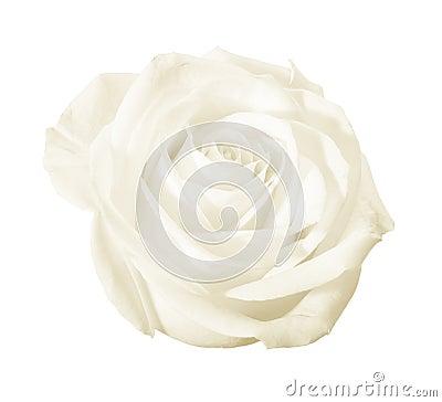 White rose flower isolated