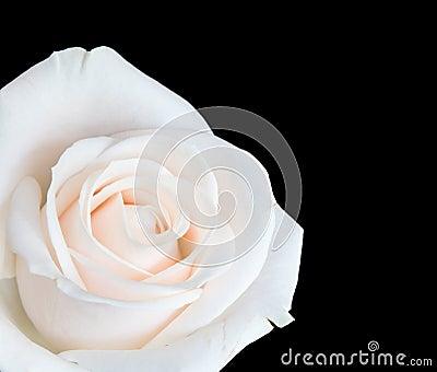 White rose isolated