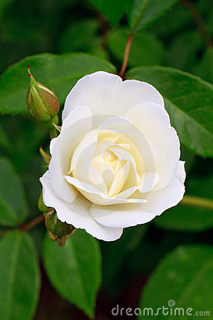 Free White Rose Rosebud Stock Photography - 20807642