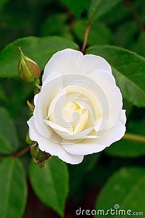 White rose rosebud