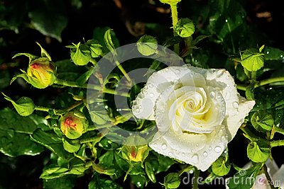 White rose on a rosebush