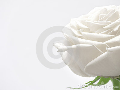 White Rose Softness