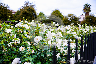 White rose with steel fence