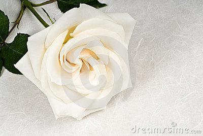 White Rose on Textured Paper