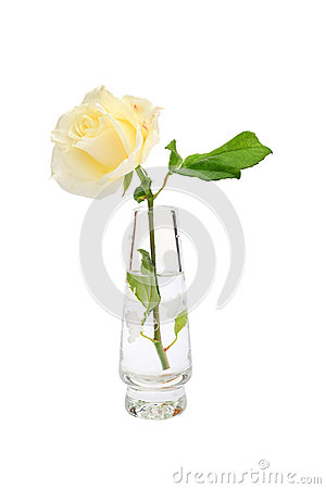 White rose in vase