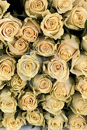 Free White Roses Stock Photos - 26153