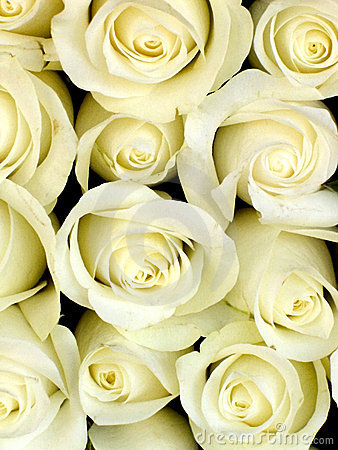 Free White Roses Stock Photo - 26170