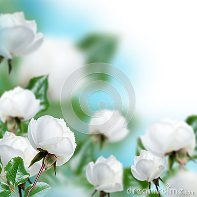 White roses with blue