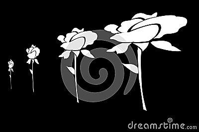 White Roses Drawn on Black Background