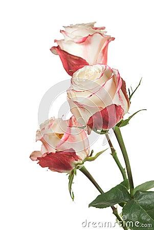 White roses on white