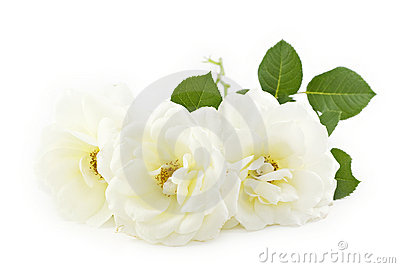 White Roses White Background