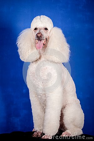 Free White Royal Poodle On Blue Royalty Free Stock Photography - 42179537