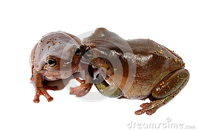 White s Dumpy Tree Frogs