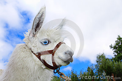 White, sad furry lama glama with long eyelashes