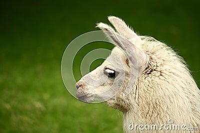 White, sad furry lama glama portrait