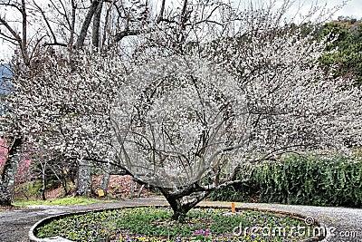 White sakura blossom