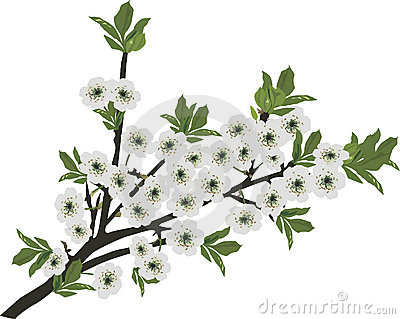 White sakura isolated branch